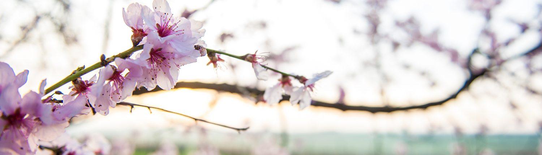 Mandelblüte in unserer Region Bockenheim